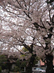 隅田川の桜