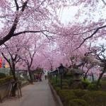 安行 密蔵院の桜 その2