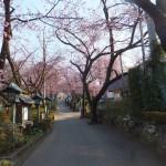 安行 密蔵院の桜 その1