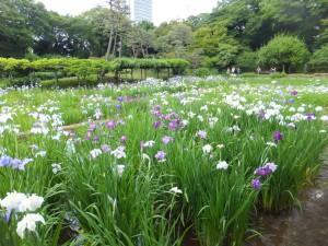 小石川後楽園の花菖蒲