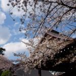 靖国神社に花見に行ってきた
