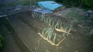 ネギの上に藁を敷きます